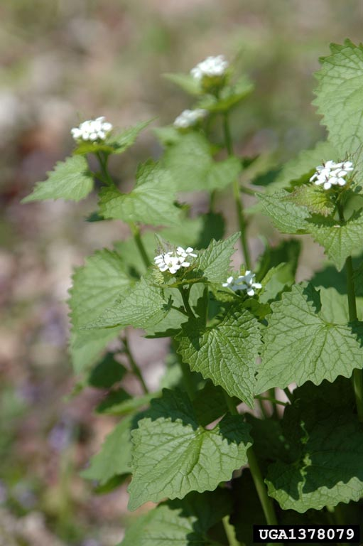 Detail of garlic mustard's small white flowers
