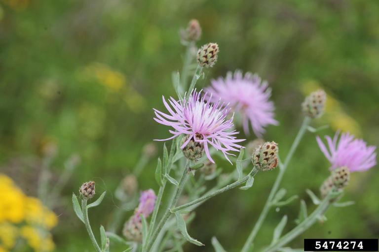 Purple spotted knapweed flowers