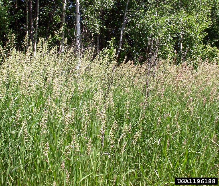 Reed canary grass in edge habitat